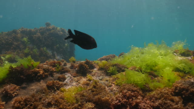 Damselfish feeding sea grass undersea, Taiwan (4K) video