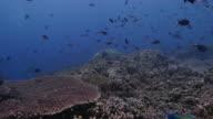 Damselfish, Parrotfish, schooling, coral reef, tropical sea video