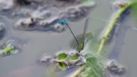 damselfly is mating and laying egg video