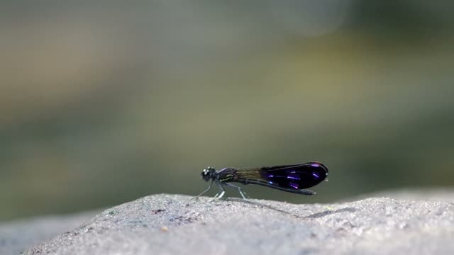 damselfly on the rock close to flowing stream video