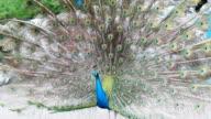 Dancing Peacock video