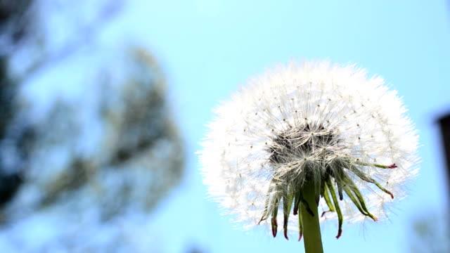 Dandelion against the sky video