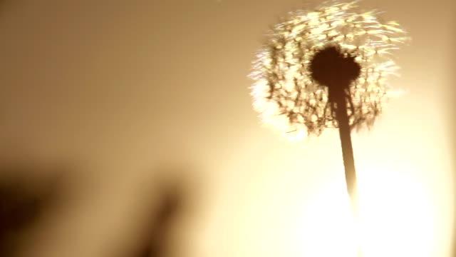 Dandelion and Orange Sunset video