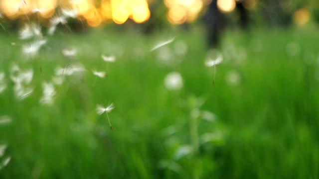 Dandelion Being Blown In Slow Motion video