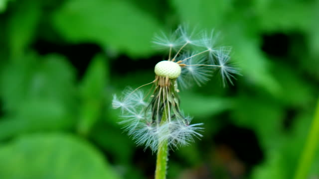 Dandelion Being Blowned Slow Motion video