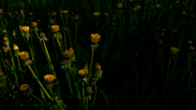 Dandelion Blooming Time Lapse video