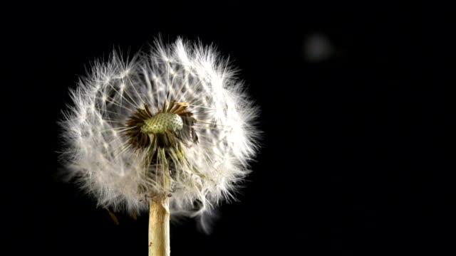 Dandelion blowing video