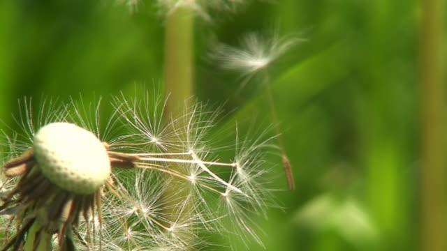Dandelion close up video