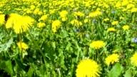 Dandelion field and bumblebee video