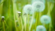 Dandelion field closeup over nature green blurred background video