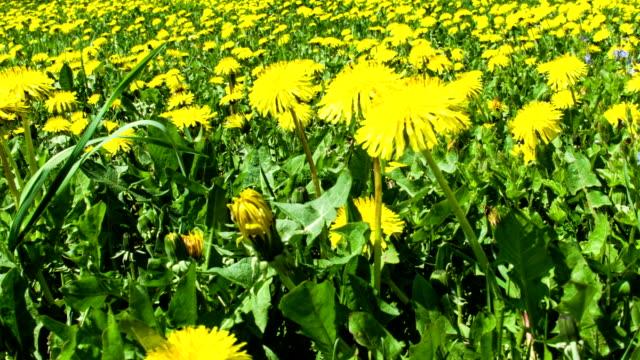 Dandelion field pan video