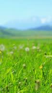 Dandelion field video