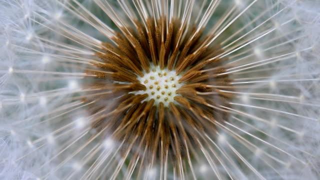 Dandelion Flower Closeup, Big Dandelion. video