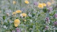 Dandelion Flowers,at Showa Memorial Park,Tokyo,Japan video