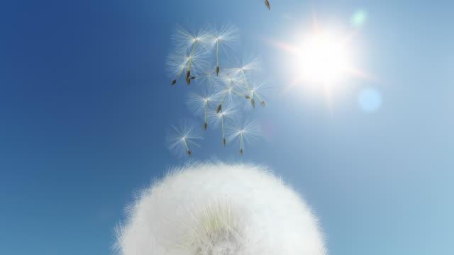 Dandelion flying seeds - loopable video