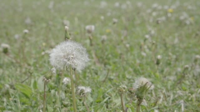 dandelion in grass in summer with copy space video