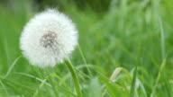 Dandelion In The Breeze video