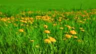 Dandelion meadow video