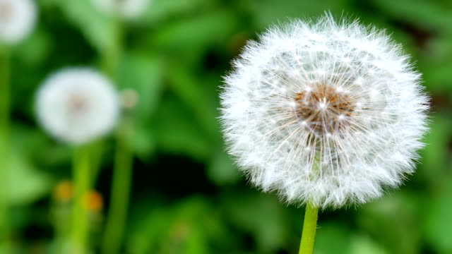 Dandelion on the green background. video
