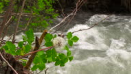 Dandelion on the river video