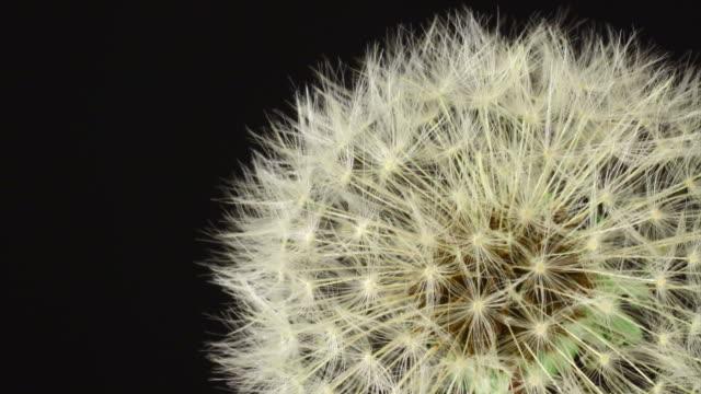Dandelion opening HD video