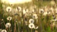 Dandelion Seed Ball video