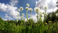 Dandelion seed heads, time lapse video