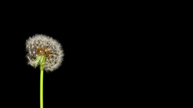 Dandelion Seeds Being Blown video