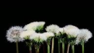 Dandelion seeds blooming HD video