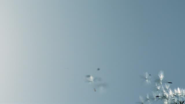 Dandelion Seeds in the air video