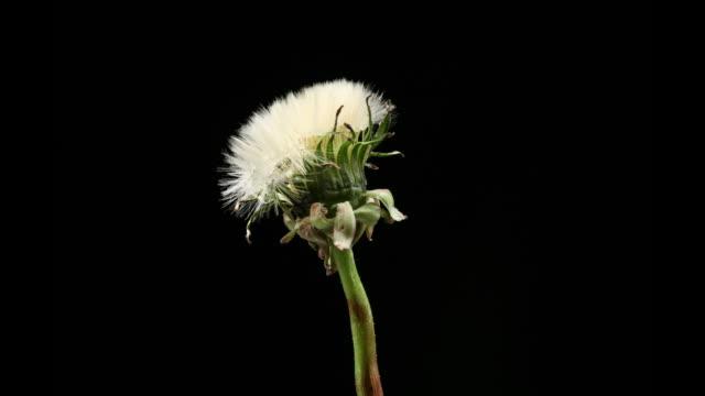 Dandelion seeds opening video