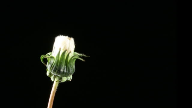 Dandelion seeds opening video