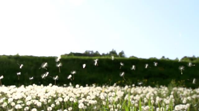 HD SUPER SLOW MO: Dandelion Seeds video
