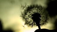 Dandelion Silhouette video