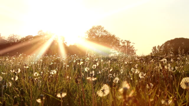 Dandelion Sunset video