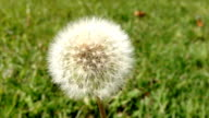 Dandelion video