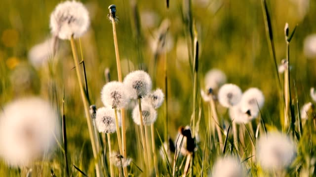 dandelion with seed on meadow in spring breeze video