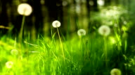 Dandelions and grass (loopable) video