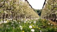 HD DOLLY: Dandelions Growing Between Apple Trees video
