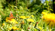 dandelions in meadow, butterfly video