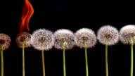Dandelions in the Fire video