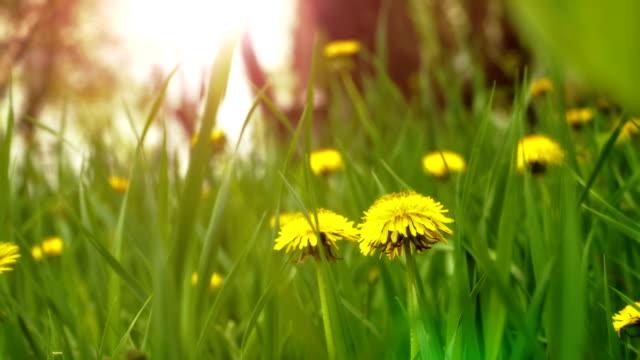 Dandelions in the meadow video