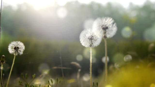 Dandelions in the spring video