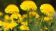 dandelions on the wind video