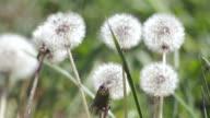 Dandelions swaying in breeze video