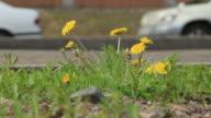 Dandelions - цветок у дороги video