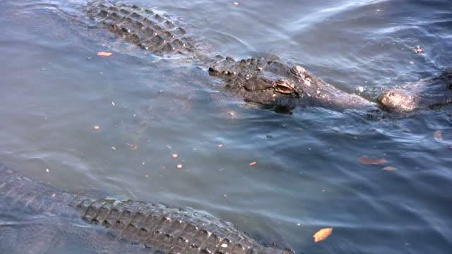 Dangerous Alligators Up Close video