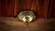 Dangerous European Wasp Nest video