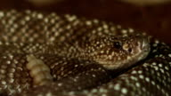 Dangerous Rattlesnake video
