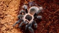 Dangerous tarantula spider in a special terrarium. video